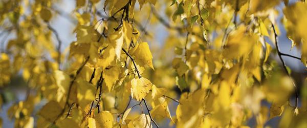 Koivussa on keltaiset lehdet